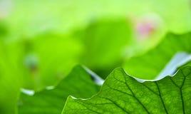 Το σχέδιο του φύλλου λωτού Στοκ Φωτογραφίες