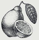 Το σχέδιο χεριών λεμονιών Εσπεριδοειδών σχέδιο που απομονώνεται διανυσματικό Χαραγμένη απεικόνιση ύφους Στοκ εικόνα με δικαίωμα ελεύθερης χρήσης