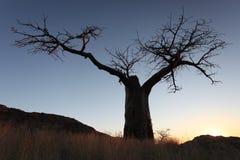 Το σχεδιάγραμμα του δέντρου αδανσωνιών ενάντια στον ουρανό βραδιού Στοκ Εικόνες