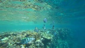 Το σχολείο του indo-ειρηνικού λοχία κολυμπά πέρα από την κοραλλιογενή ύφαλο, Ερυθρά Θάλασσα, Αίγυπτος απόθεμα βίντεο