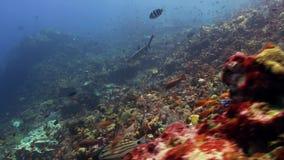 Το σχολείο των ζωηρόχρωμων ψαριών στο σκόπελο στον ωκεανό απόθεμα βίντεο