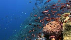 Το σχολείο των ζωηρόχρωμων ψαριών στο σκόπελο στον ωκεανό φιλμ μικρού μήκους