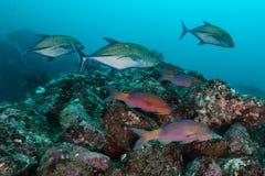 Το σχολείο των ψαριών αιγών με το Jack αλιεύει, Pulah Weh, Banda aceh, μέσα στοκ εικόνες