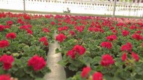 Το σύγχρονο θερμοκήπιο με τα ανθίζοντας λουλούδια, μεγάλο θερμοκήπιο με τα λουλούδια, ανάπτυξη ανθίζει στο θερμοκήπιο απόθεμα βίντεο
