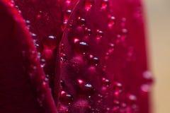 Το σύμβολο της αγάπης και των ρομαντικών συναισθημάτων κόκκινων αυξήθηκε μακρο εικόνα πετάλων με τις πτώσεις νερού Στοκ Φωτογραφίες