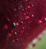 Το σύμβολο της αγάπης και των ρομαντικών συναισθημάτων κόκκινων αυξήθηκε μακρο εικόνα πετάλων με τις πτώσεις νερού Στοκ Φωτογραφία