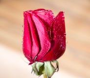 Το σύμβολο της αγάπης και των ρομαντικών συναισθημάτων κόκκινων αυξήθηκε μακρο εικόνα πετάλων με τις πτώσεις νερού Στοκ Εικόνες