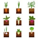 Το σύνολο διαφορετικών λαχανικών φυτεύει να αυξηθεί υπόγεια: καρότο, κρεμμύδι, πατάτες, ραδίκι, daikon, τεύτλο, σκόρδο, σέλινο ελεύθερη απεικόνιση δικαιώματος