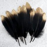 Το σύνολο πολυτέλειας επιχρύσωσε το χρυσό χρυσό μαύρο φτερό κύκνων στο άσπρο υπόβαθρο δαντελλών Στοκ Εικόνα