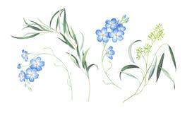 Το σύνολο Watercolor με ξεχνά όχι λουλούδια και ευκάλυπτος που απομονώνονται στο άσπρο υπόβαθρο στοκ εικόνα με δικαίωμα ελεύθερης χρήσης