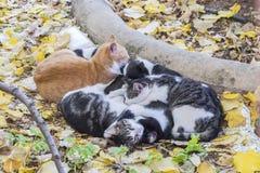 Το σύνολο γατών κατσάρωσε επάνω να κοιμηθεί μαζί για τη ζεστασιά Στοκ Εικόνες