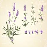 Το σύνολο lavender ανθίζει τα στοιχεία Στοκ Εικόνες