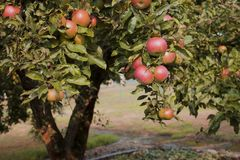 Το τέλος του καλοκαιριού και τα μήλα είναι κόκκινα και γλυκά Οι κήποι είναι πλήρεις των μήλων στοκ φωτογραφία