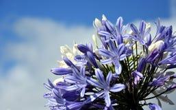 Το τέταρτο του κρίνου του Νείλου, κάλεσε επίσης το αφρικανικό μπλε λουλούδι κρίνων Στοκ φωτογραφία με δικαίωμα ελεύθερης χρήσης