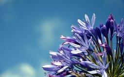 Το τέταρτο του κρίνου του Νείλου, κάλεσε επίσης το αφρικανικό μπλε λουλούδι κρίνων Στοκ Φωτογραφίες