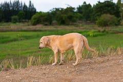 Το ταϊλανδικό λαϊκό σκυλί κρατά το ρολόι Στοκ Φωτογραφία