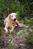 Το ταϊλανδικό λαϊκό σκυλί κρατά το ρολόι Στοκ Εικόνες