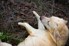 Το ταϊλανδικό λαϊκό σκυλί κρατά τους φίλους Στοκ Εικόνες