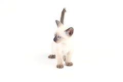 Το ταϊλανδικό γατάκι είναι ένα παραδοσιακό ή παλιό σιαμέζο γατάκι Στοκ Εικόνες
