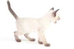 Το ταϊλανδικό γατάκι είναι ένα παραδοσιακό ή παλιό σιαμέζο γατάκι Στοκ Εικόνα