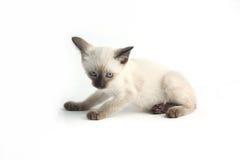 Το ταϊλανδικό γατάκι είναι ένα παραδοσιακό ή παλιό σιαμέζο γατάκι Στοκ εικόνα με δικαίωμα ελεύθερης χρήσης