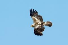 Το τεθειμένο σε έναρξη pennata Aquila αετών Στοκ εικόνες με δικαίωμα ελεύθερης χρήσης