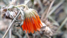 Το τελευταίο λουλούδι το φθινόπωρο στοκ φωτογραφίες