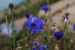 Το τελευταίο του φθινοπώρου cornflower στοκ φωτογραφίες