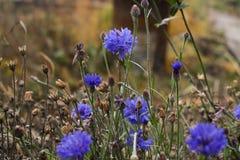 Το τελευταίο του φθινοπώρου cornflower στοκ εικόνες με δικαίωμα ελεύθερης χρήσης