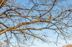 Το τεράστιο δέντρο, κλάδοι έξω προς όλες τις κατευθύνσεις, χωρίς βγάζει φύλλα, το μπλε s στοκ εικόνες