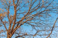Το τεράστιο δέντρο, κλάδοι έξω προς όλες τις κατευθύνσεις, χωρίς βγάζει φύλλα, το μπλε s στοκ εικόνα με δικαίωμα ελεύθερης χρήσης