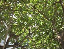 Το τεράστιο δέντρο plumeria στο βοτανικό κήπο της Σιγκαπούρης Στοκ φωτογραφία με δικαίωμα ελεύθερης χρήσης