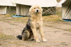 Το τεράστιο σκυλί φρουρεί campground στα βουνά στοκ εικόνα