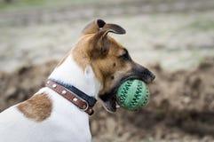 Το τεριέ αλεπούδων σκυλιών που παίζει με μια λαστιχένια σφαίρα στοκ φωτογραφία