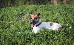 Το τεριέ αλεπούδων σκυλιών που παίζει με μια σφαίρα σε ένα πράσινο ξέφωτο στοκ εικόνες