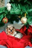 Το τεριέ του Γιορκσάιρ κάθεται κοντά σε ένα χριστουγεννιάτικο δέντρο Η έννοια Chr Στοκ Εικόνες