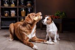 Το τεριέ του Jack Russell φυλής σκυλιών και Retriever διοδίων παπιών της Νέας Σκοτίας σκυλιών, τρόφιμα είναι στον πίνακα στην κου Στοκ εικόνες με δικαίωμα ελεύθερης χρήσης