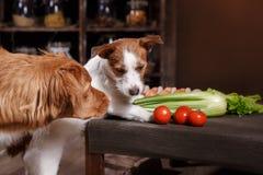 Το τεριέ του Jack Russell φυλής σκυλιών και Retriever διοδίων παπιών της Νέας Σκοτίας σκυλιών, τρόφιμα είναι στον πίνακα στην κου Στοκ Εικόνες