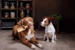 Το τεριέ του Jack Russell φυλής σκυλιών και Retriever διοδίων παπιών της Νέας Σκοτίας σκυλιών, τρόφιμα είναι στον πίνακα στην κου Στοκ φωτογραφία με δικαίωμα ελεύθερης χρήσης