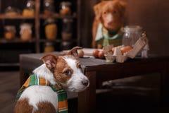 Το τεριέ του Jack Russell φυλής σκυλιών και Retriever διοδίων παπιών της Νέας Σκοτίας σκυλιών, τρόφιμα είναι στον πίνακα στην κου Στοκ Φωτογραφία