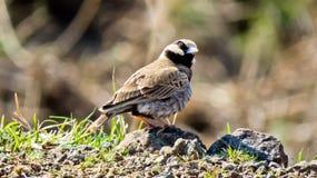 Το τεφρώδης-στεμμένο πουλί σπουργιτιών -σπουργίτι-lark, κλείνει επάνω την φωτογραφία-Ινδία στοκ εικόνες