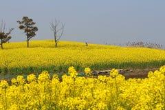 Το τοπίο λιμνών Yangcheng Suzhou, λουλούδι canola, φωνάζει Στοκ Εικόνα