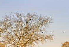 Το τοπίο με ένα γυμνό δέντρο την πρώιμη άνοιξη και τα πουλιά είναι κοράκια Στοκ Εικόνα