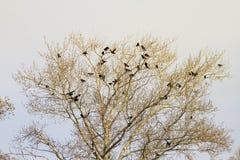 Το τοπίο με ένα γυμνό δέντρο την πρώιμη άνοιξη και τα πουλιά είναι κοράκια Στοκ εικόνες με δικαίωμα ελεύθερης χρήσης