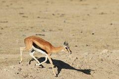 Το τρέχοντας Thompson ` s Gazelle Στοκ εικόνες με δικαίωμα ελεύθερης χρήσης