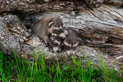 Το τρίο των ρακούν μωρών (lotor Procyon) αναρριχείται πέρα από μεταξύ τους Στοκ εικόνα με δικαίωμα ελεύθερης χρήσης