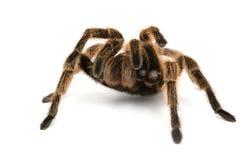 το τρίχωμα αυξήθηκε tarantula Στοκ Εικόνες