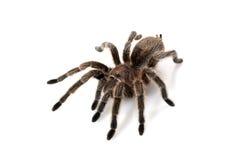το τρίχωμα αυξήθηκε tarantula Στοκ εικόνες με δικαίωμα ελεύθερης χρήσης