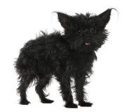το τρίχωμα chihuahua 11 παλαιό τα έτη Στοκ Εικόνες