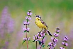 Το τραγούδι κίτρινου Wagtail στοκ φωτογραφία με δικαίωμα ελεύθερης χρήσης